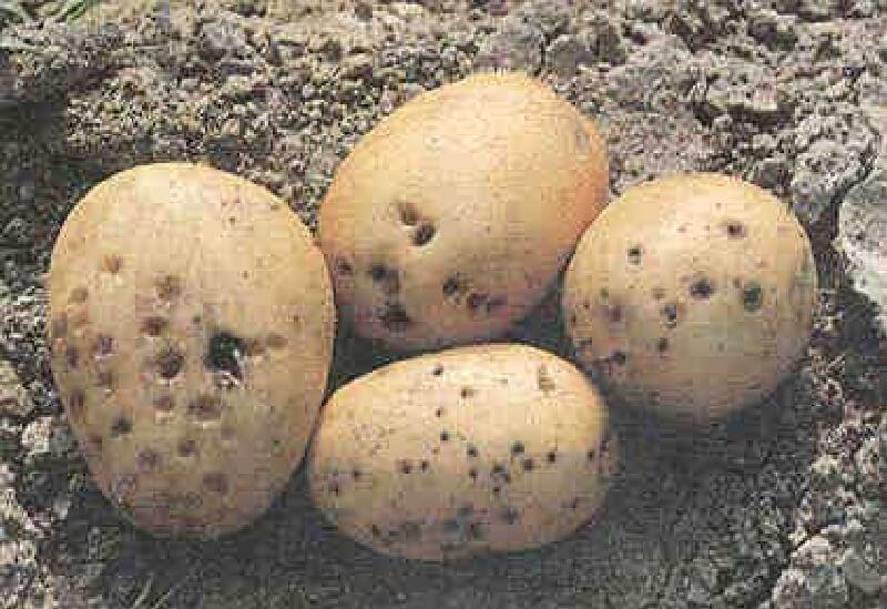 Patateste Tel Kurdu ve Mücadelesi - İNTFA BLOG - Tarımsal Blog