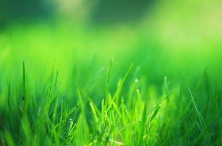 Lolium Multiflorum Çim Tohumu Yetiştiriciliği
