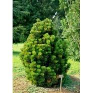 Mugo Çamı Tohumu - 500 Adet