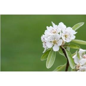 Ahlat Ağacı Tohumu - 500 Adet