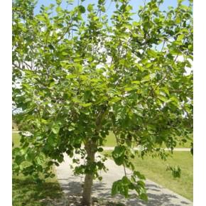 Ak Dut Ağacı Tohumu - 500 Adet