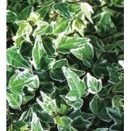 Alaca Yapraklı Sarmaşık Tohumu - 500 Adet