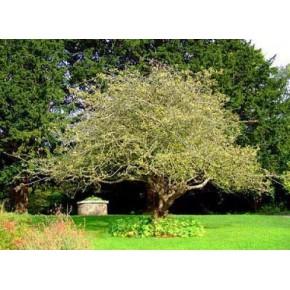 Alıç Ağacı Tohumu - 250 Adet
