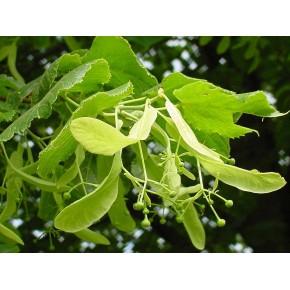 Amerikan Ihlamuru Ağacı Tohumu - 100 Adet