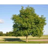 Anadolu Ceviz Ağacı Tohumu - 50 Adet