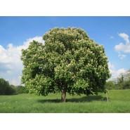 At Kestanesi Tohumu Beyaz Çiçekli - 50 Adet
