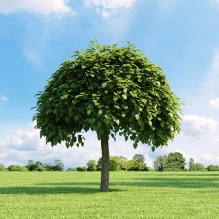 Sigara Ağacı Tohumu - 100 Adet