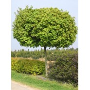 Çınar Yapraklı Akçaağaç Tohumu - 500 adet
