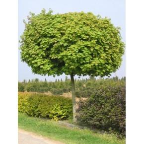 Çınar Yapraklı Akçaağaç Tohumu - 100 adet