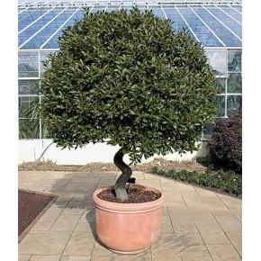 Defne Ağacı Tohumu - 100 Adet