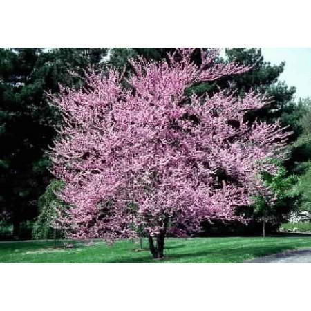 Erguvan Ağacı Tohumu - 50 adet