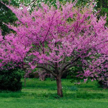 Hobby Bahçem Erguvan