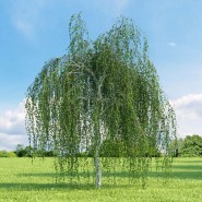Huş Ağacı Tohumu - 500 adet