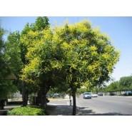 Kandil Ağacı Tohumu - 100 Adet