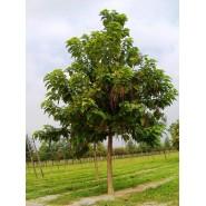 Katalpa Ağacı Tohumu - 500 Adet