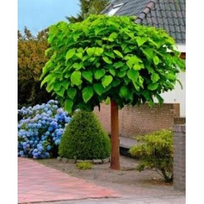 Katalpa Ağacı Tohumu - 100 Adet