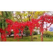 Kırmızı Yapraklı Sarmaşık Tohumu - 500 Adet