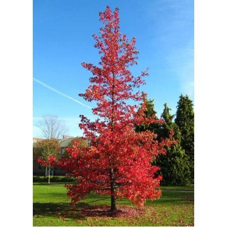 Kırmızı Yapraklı Sığla Tohumu - 500 Adet