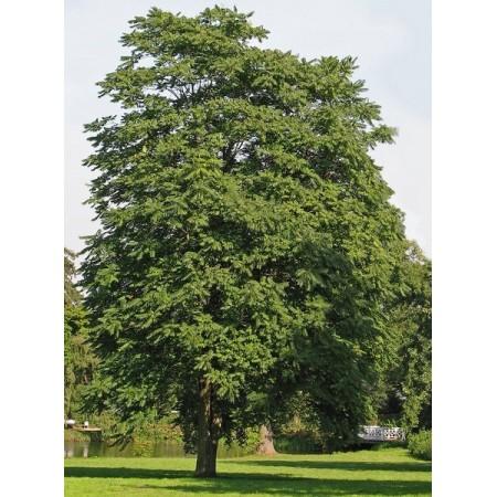 Kokar Ağaç Tohumu - 500 Adet