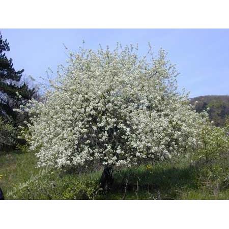 Mahlep Ağacı Tohumu - 250 Adet