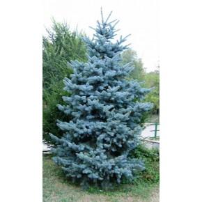 Mavi Ladin Tohumu - Galuca - 100 Adet