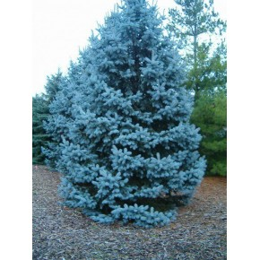 Hobby Bahçem Mavi Ladin