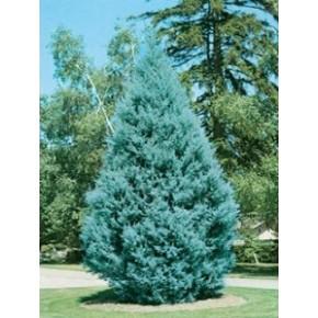 Mavi Servi Tohumu - 500 adet
