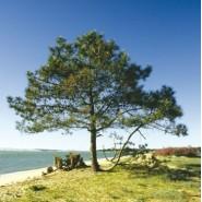 Sahil Çamı Tohumu - 500 Adet