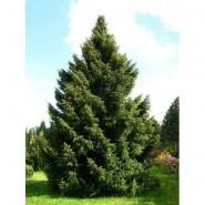 Sırp Ladini (W.E-Batı Avrupa) Ağaç Tohumu - 250 Adet
