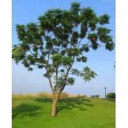 Tesbih Ağacı Tohumu - 50 adet