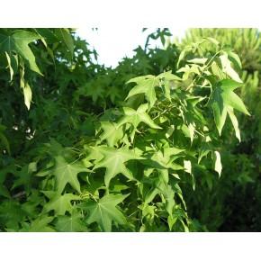 Yeşil Yapraklı Sığla Tohumu - 500 Adet
