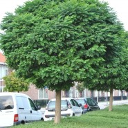 Akasya Ağacı Tohumu - 100 Adet