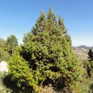 Andız Ağacı Tohumu - 50 Adet