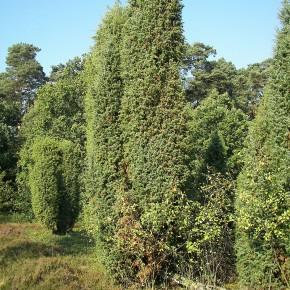 Ardıç Ağacı Tohumu - 500 Adet