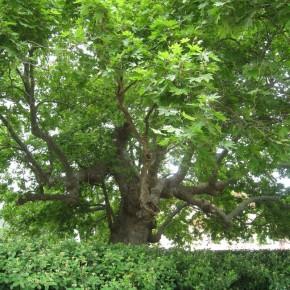 Batı Çınarı Ağacı Tohumu - 500 Adet