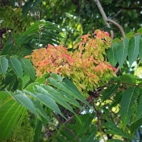 Cennet Ağacı Tohumu - 500 adet