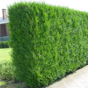 Çit Mazısı Tohumu - 500 Adet