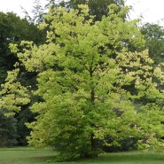 Çitlembik  Ağacı Tohumu  - 100 Adet