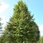 Ihlamur Ağacı Tohumu - 100 adet
