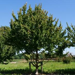 Kızılcık Ağacı Tohumu - 500 adet