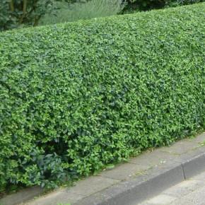 Kurtbağrı Çit Tohumu - 500 Adet