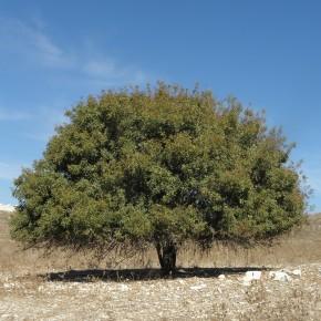 Menengiç Ağacı Tohumu - 100 Adet