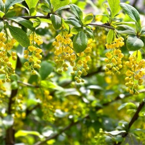 Sarı Çalı Ağaç Tohumu - 250 Adet