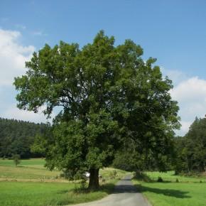 Yerli Dişbudak Ağacı Tohumu - 500 Adet