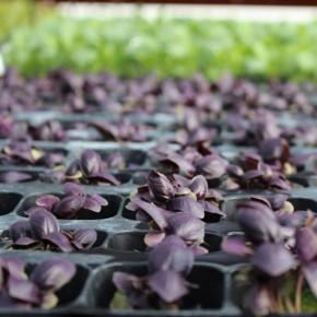 Mor Fesleğen Çiçeği Fidesi Mor Reyhan - 384 Viyöl
