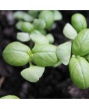 Aromatik Bitki Fidesi