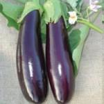 Standart Patlıcan Tohumu