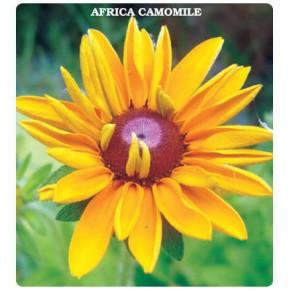 Afrika Papatyası Tohumu