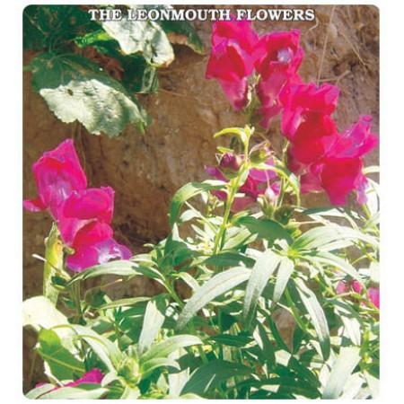Aslan Ağzı Çiçeği Tohumu