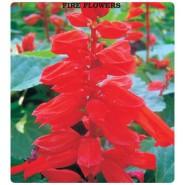 Ateş Çiçeği Tohumu